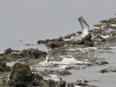 Red-necked Stint, Unknown/not in list