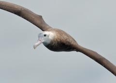 Antipodean Albatross (Image ID 22910)