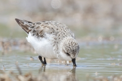 Red-necked Stint (Image ID 23050)