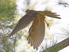 Collared Sparrowhawk (Image ID 23659)