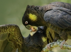 Yellow-tailed Black-Cockatoo (Image ID 23725)