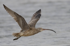 Eastern Curlew (Image ID 23631)
