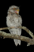 Tawny Frogmouth (Image ID 23704)