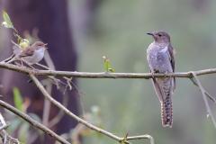 Fan-tailed Cuckoo, Superb Fairy-wren