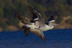 Australian Pelican (Image ID 24074)