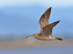 Whimbrel (Image ID 24145)