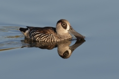 Pink-eared Duck (Image ID 24681)
