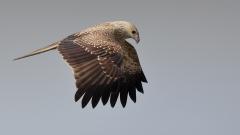 Whistling Kite (Image ID 25802)