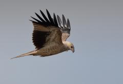 Whistling Kite (Image ID 25801)