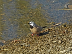 Black-throated Finch (Image ID 25786)