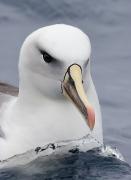 Black-browed Albatross, Grey-headed Albatross, Hybrid (Image ID 25679)