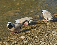 Black-throated Finch (Image ID 25787)