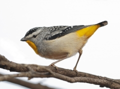 Spotted Pardalote (Image ID 25807)