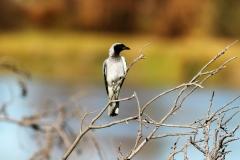 Black-faced Cuckoo-shrike (Image ID 25789)