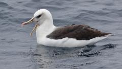 Black-browed Albatross, Grey-headed Albatross, Hybrid (Image ID 25676)