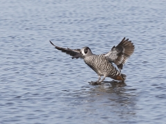 Pink-eared Duck (Image ID 25784)