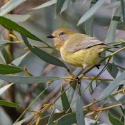 Yellow Thornbill (Image ID 25751)