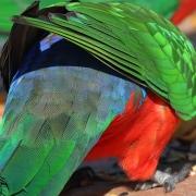 Australian King-Parrot