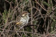 Speckled Warbler (Image ID 25766)