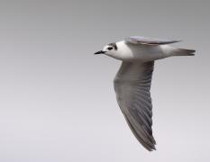 White-winged Black Tern (Image ID 25761)