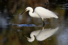Little Egret (Image ID 26644)