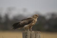 Whistling Kite (Image ID 26732)