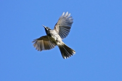 New Holland Honeyeater (Image ID 26624)