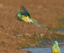 Red-rumped Parrot (Image ID 26654)