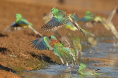 Red-rumped Parrot (Image ID 26653)