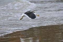 Kelp Gull (Image ID 26628)