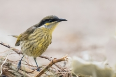 Varied Honeyeater (Image ID 26962)