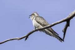 Pallid Cuckoo (Image ID 27028)