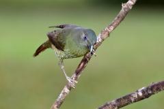 Satin Bowerbird (Image ID 27032)