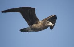 Pacific Gull (Image ID 27026)