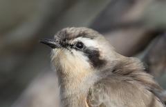 Black-eared Cuckoo (Image ID 26985)