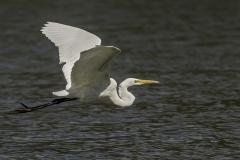 Great Egret (Image ID 27029)