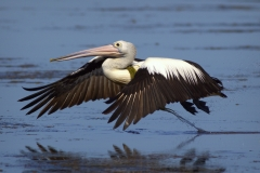 Australian Pelican (Image ID 27460)