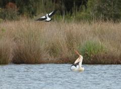 Australian Magpie, Australian Pelican (Image ID 27530)