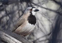 Crested Bellbird