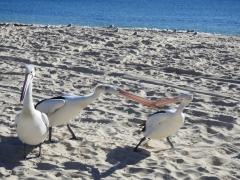 Australian Pelican
