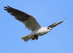 Black-shouldered Kite (Image ID 27455)