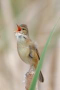 Australian Reed-Warbler (Image ID 27307)