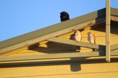 Little Crow, Nankeen Kestrel