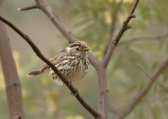 Speckled Warbler (Image ID 27372)