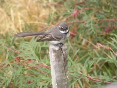 Grey Fantail (Image ID 27909)