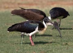 Straw-necked Ibis (Image ID 27922)