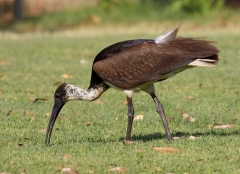 Straw-necked Ibis (Image ID 27920)