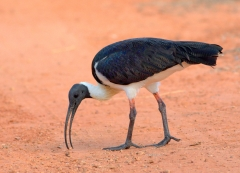 Straw-necked Ibis (Image ID 27919)