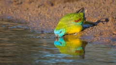 Turquoise Parrot (Image ID 28291)