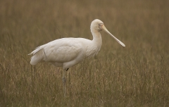 Yellow-billed Spoonbill (Image ID 28312)